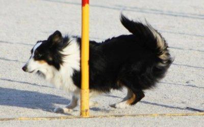 (Castellano) Más de 100 perros se reunirán el 9 y 10 de marzo en la IX prueba de Agility villa de Santa Pola